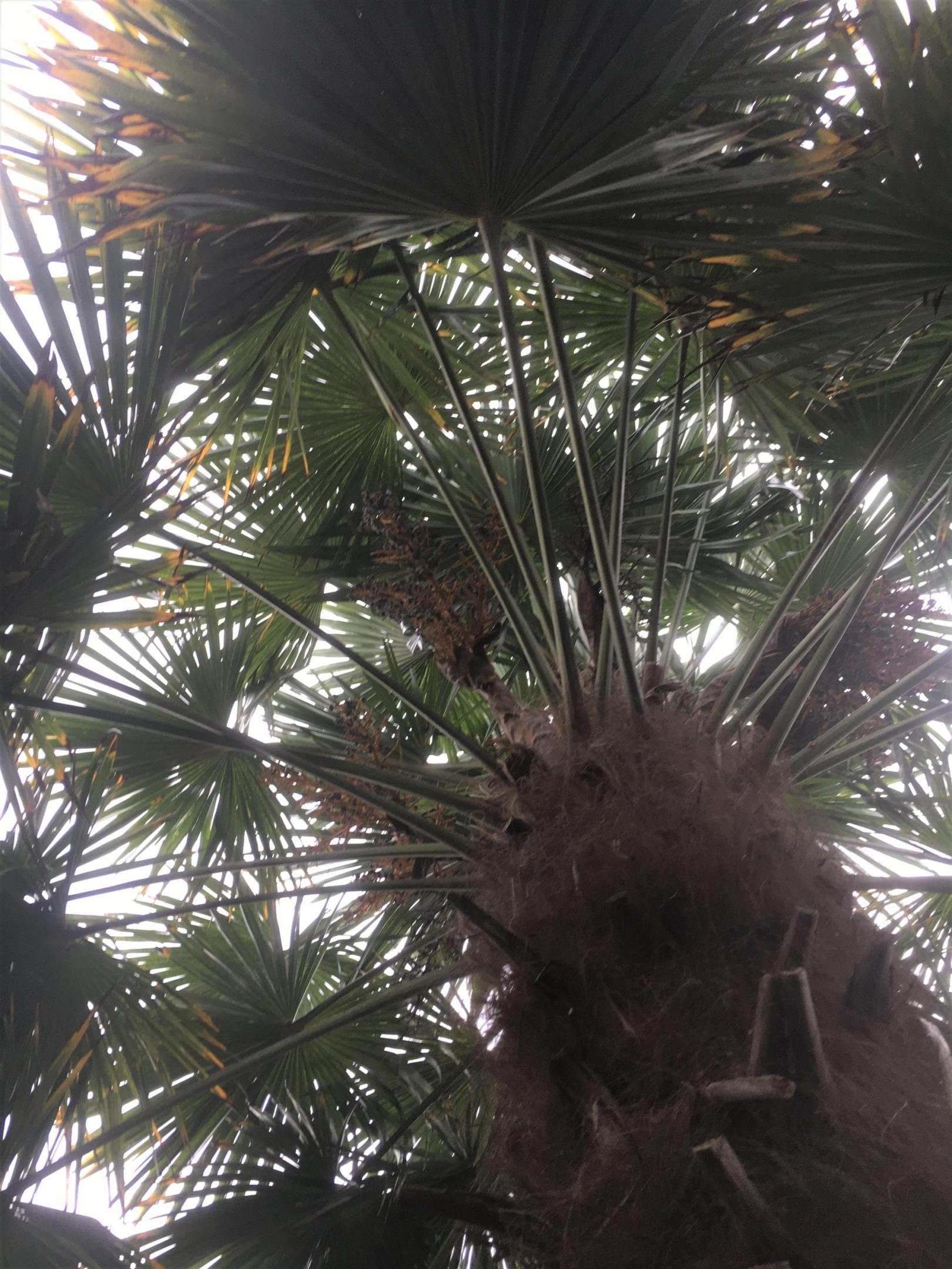 palmier zoom